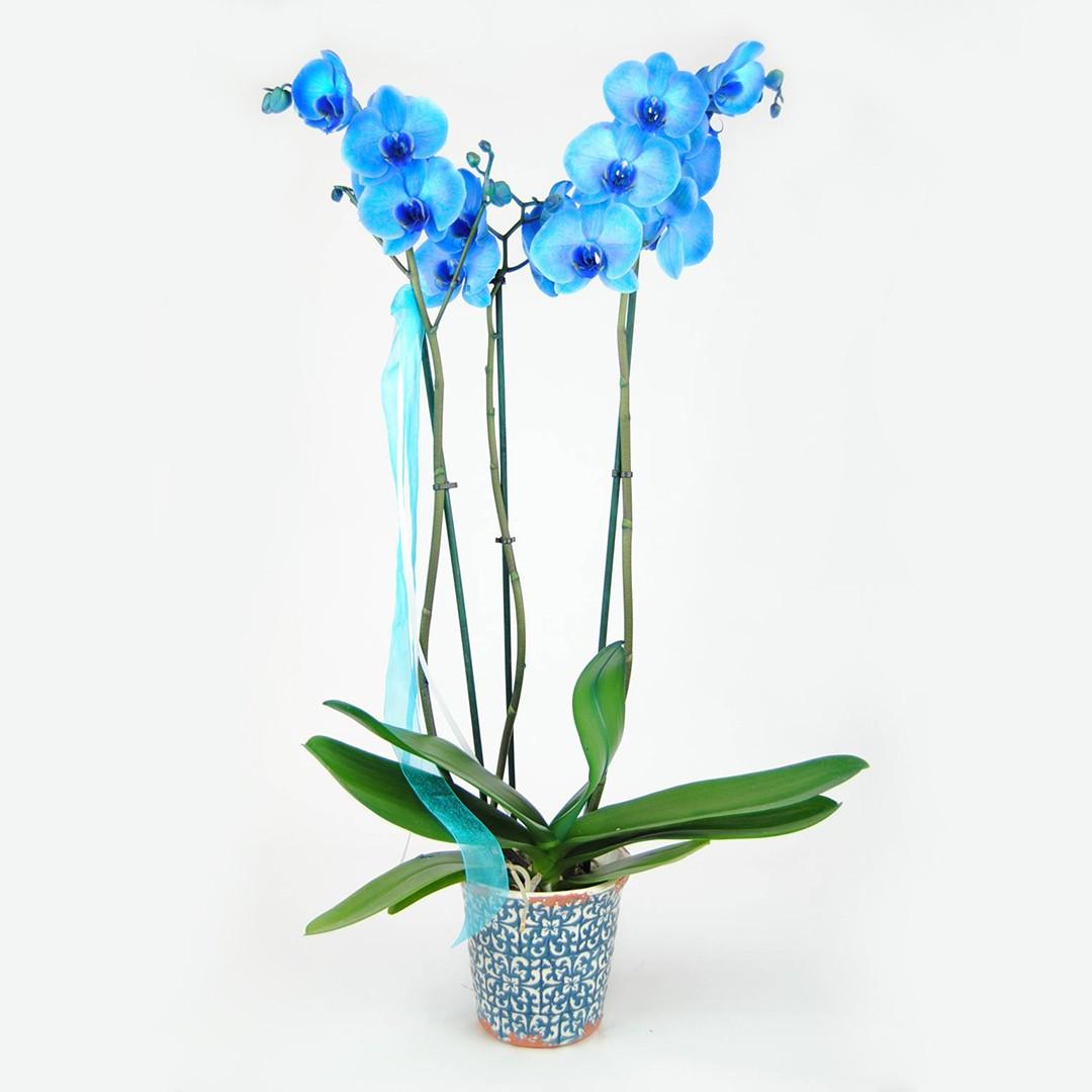 Orquídea Azul natural fresca - originalflor