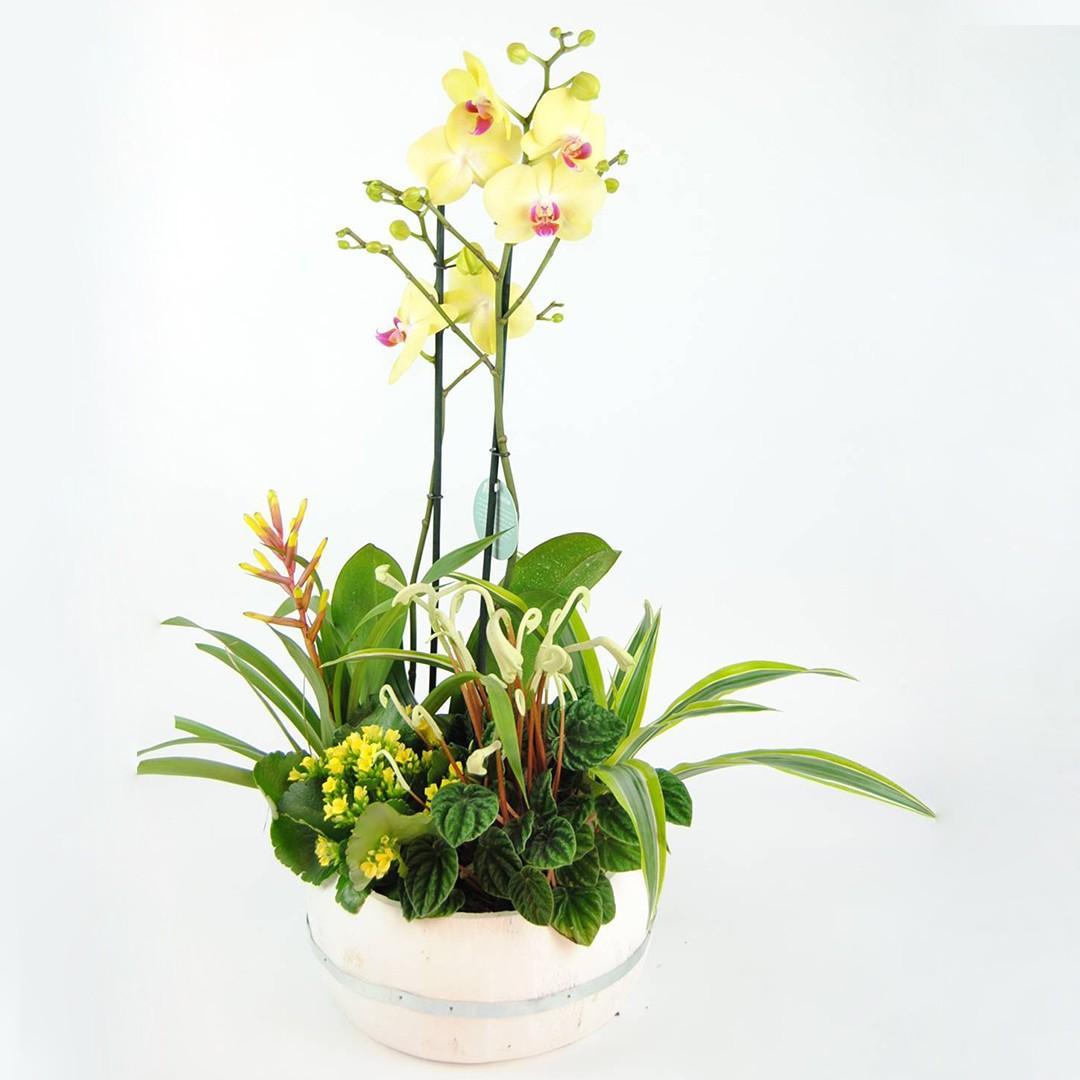 Orquídea amarilla, Bromelia amarilla, Kalanchoe amarillo, Papilodelium, Dracena y Base de madera