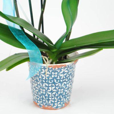 Enviar Orquídea Azul Con Maceta
