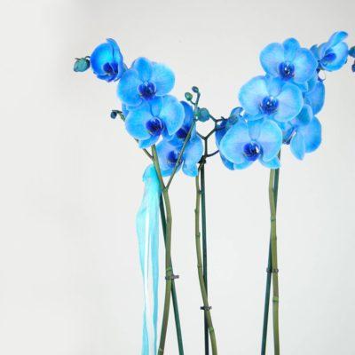 Comprar Orquídea Azul