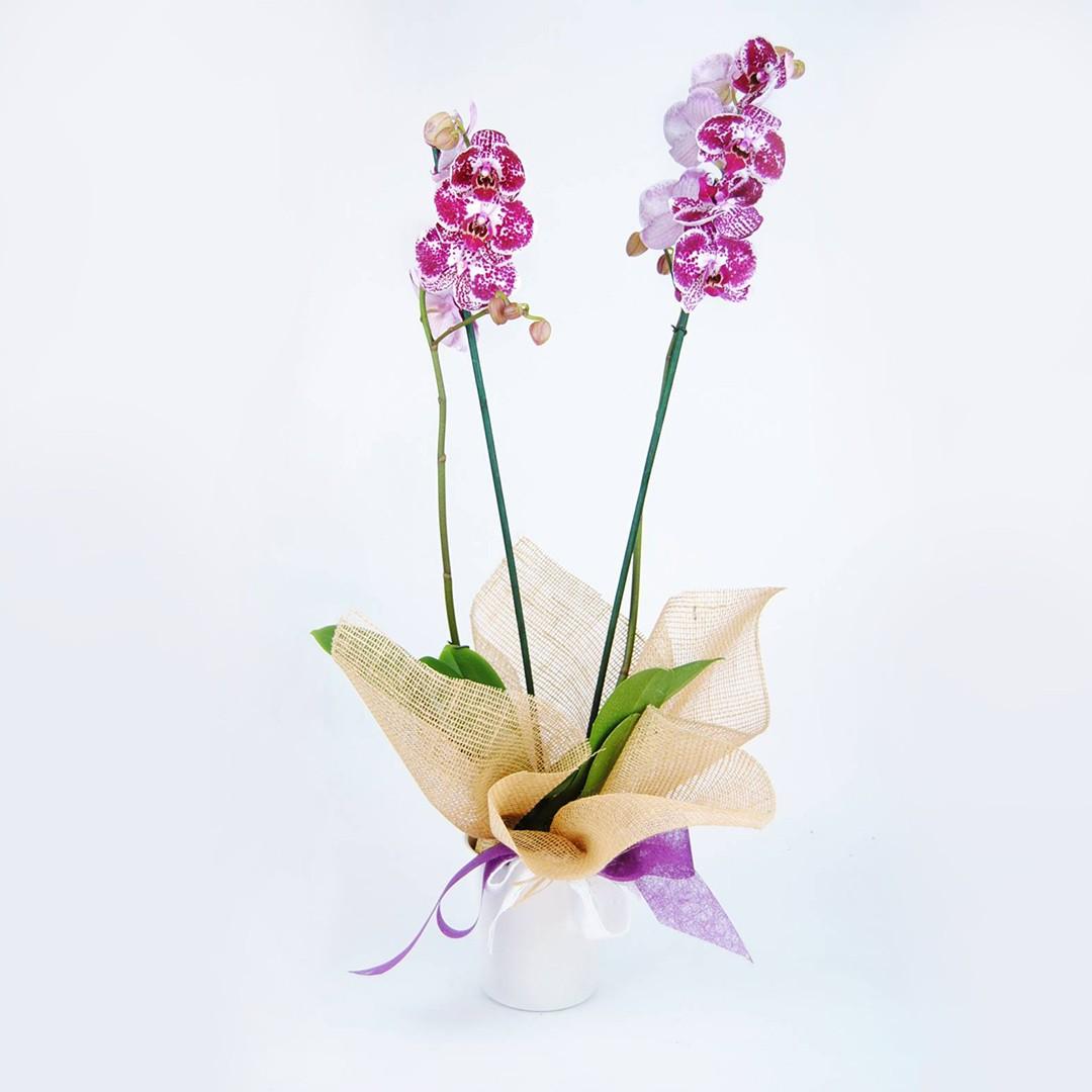 Comprar Orquídea Dotts