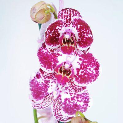 Orquídea Dotts