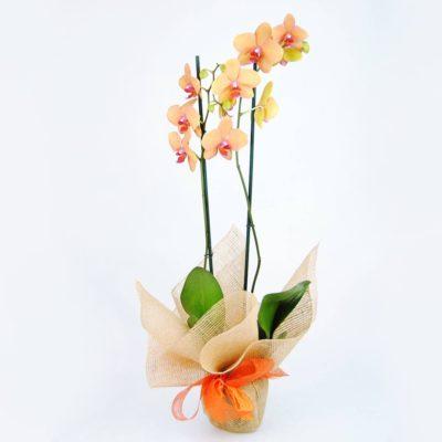 Orquídea Naranja