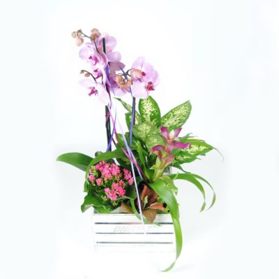 Composición Floral Con Orquídea Rosa, Kalancohe, Difembaquia, Guzmania Fucsia, Y Caja De Madera De 25cmx25cm.