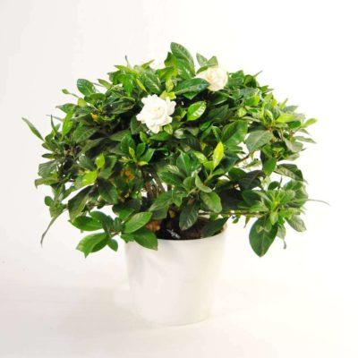 Gardenia Extra Perfumada
