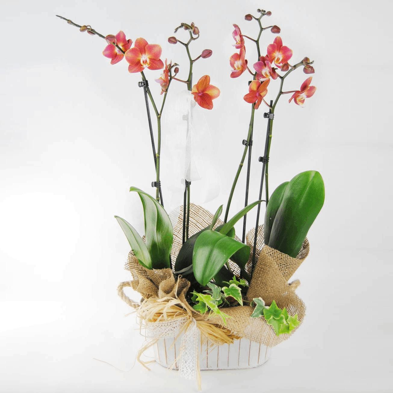 Orquídea Wild Fire - Comprar orquídea