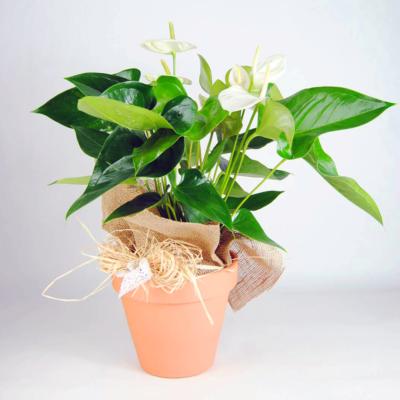 Anthurium Blanco
